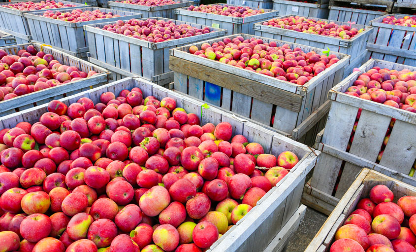 Apples in large crates